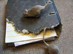 Ratten und Mäuse
