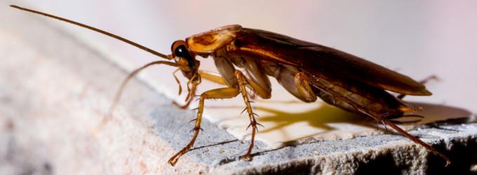 Kakerlaken bekaempfen erkennen