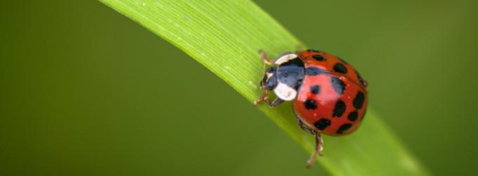 Marienkäfer auf einem Grashalm