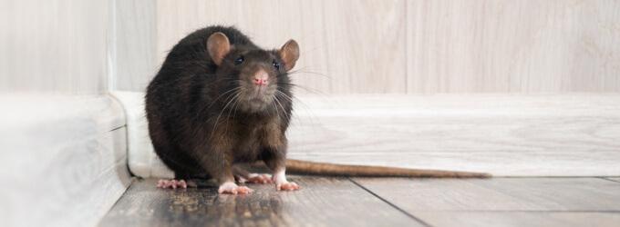 Rattenbefall - Anzeichen & Bekämpfung