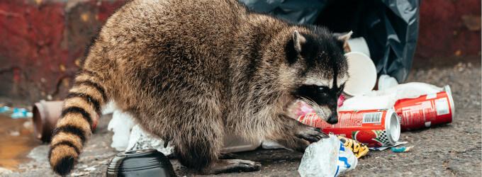 Waschbären – eine eingeschleppte Plage?