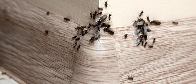 Geflügelte Ameisen machen sich auf den Weg