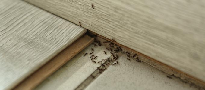 Ameisenbefall: Tipps und Mittel, die gegen Ameisen im Haus helfen