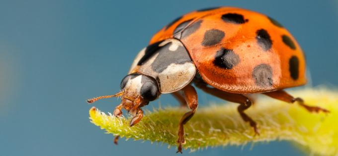 Asiatischer Marienkäfer: Nützling oder Schädling?