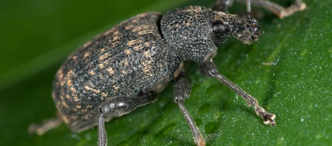 Dickmaulrüssler richtig bekämpfen: effektive Mittel gegen den Pflanzenschädling und seine Larven