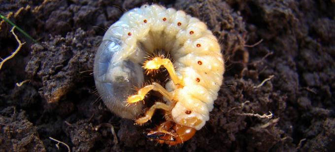 Engerlinge: Nicht alle sind Schädlinge!