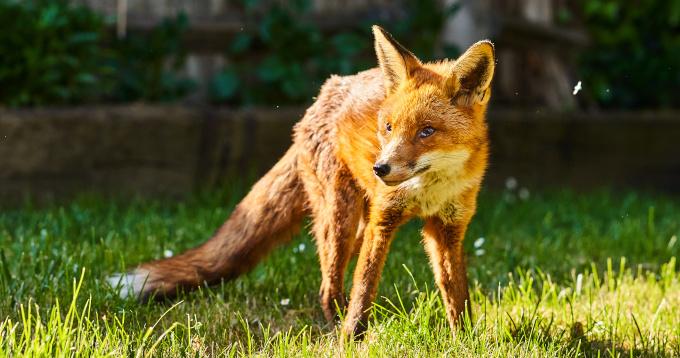 Fuchs im Garten – unbedenklich oder gefährlich?