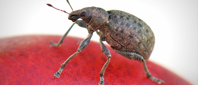 Käfer: Klein, aber trotzdem schädlich