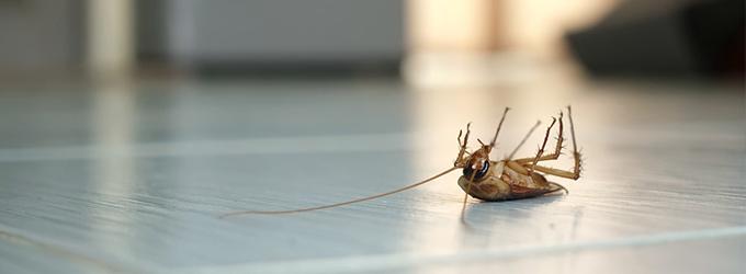 Kakerlaken – die schnellsten krabbelnden Insekten