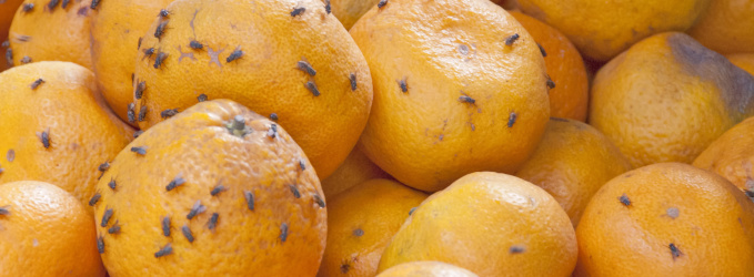 Spätsommer – Hochsaison der Obstfliegen