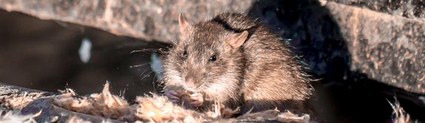 Adieu Rattenfänger – hallo moderne Rattenbekämpfung in Bayern
