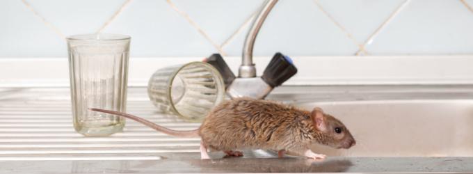 Ratten in Unternehmen
