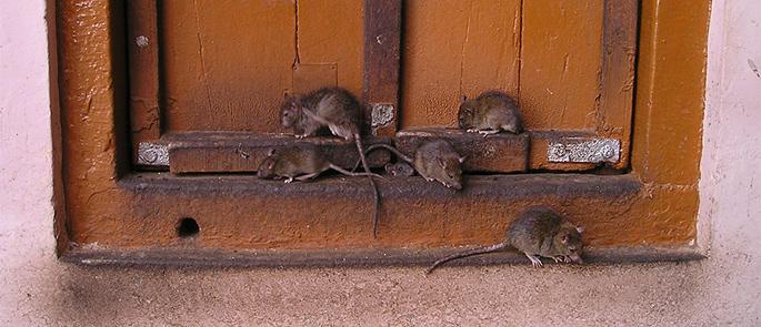 Weil-Krankheit – darum Ratten und Mäuse bekämpfen