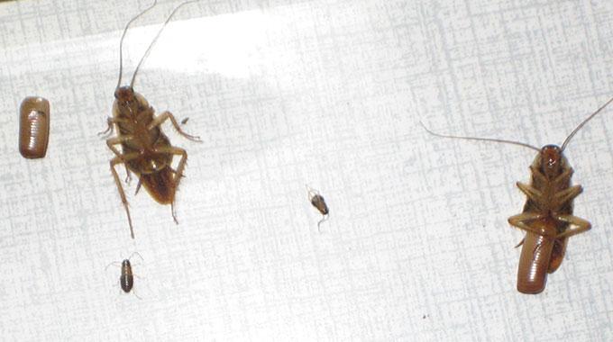 ungeziefer kakerlake simple kakerlaken in der wohnung je nobler wohnung desto mehr ungeziefer. Black Bedroom Furniture Sets. Home Design Ideas