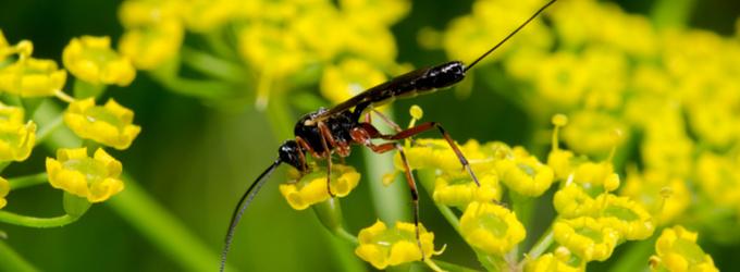 Die Schlupfwespe – der Feind von Insektenschädlingen