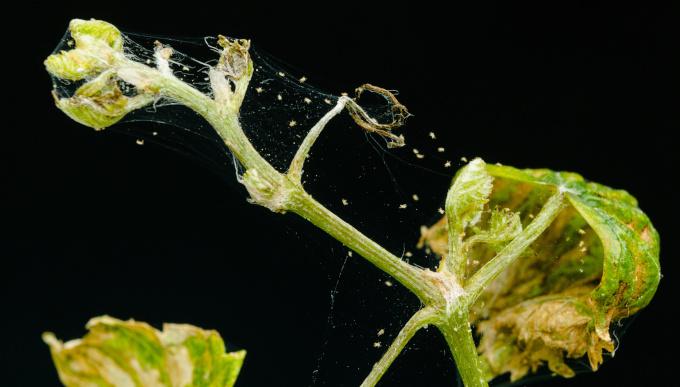 Die Spinnmilbe: Eine Gefahr für Nutz- und Zierpflanzen
