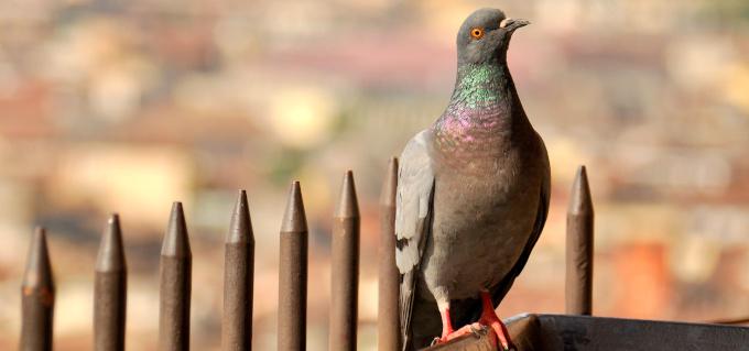 Taubenabwehr: Wie vergrämt man den Schadvogel Nummer Eins?
