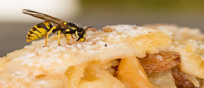 Im Sommer überall vertreten: Wespen