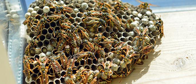 Schmerzhafter Wespenstich – wie schützen Sie sich optimal?